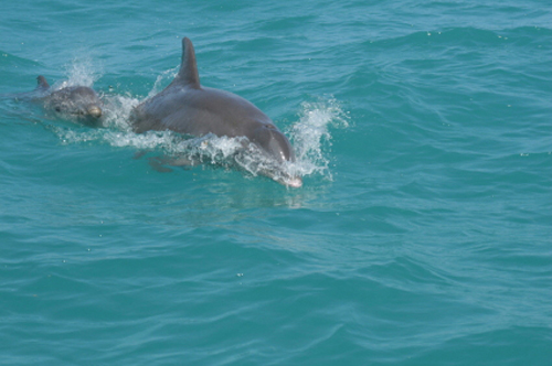 Watch the video of Dolphins playing